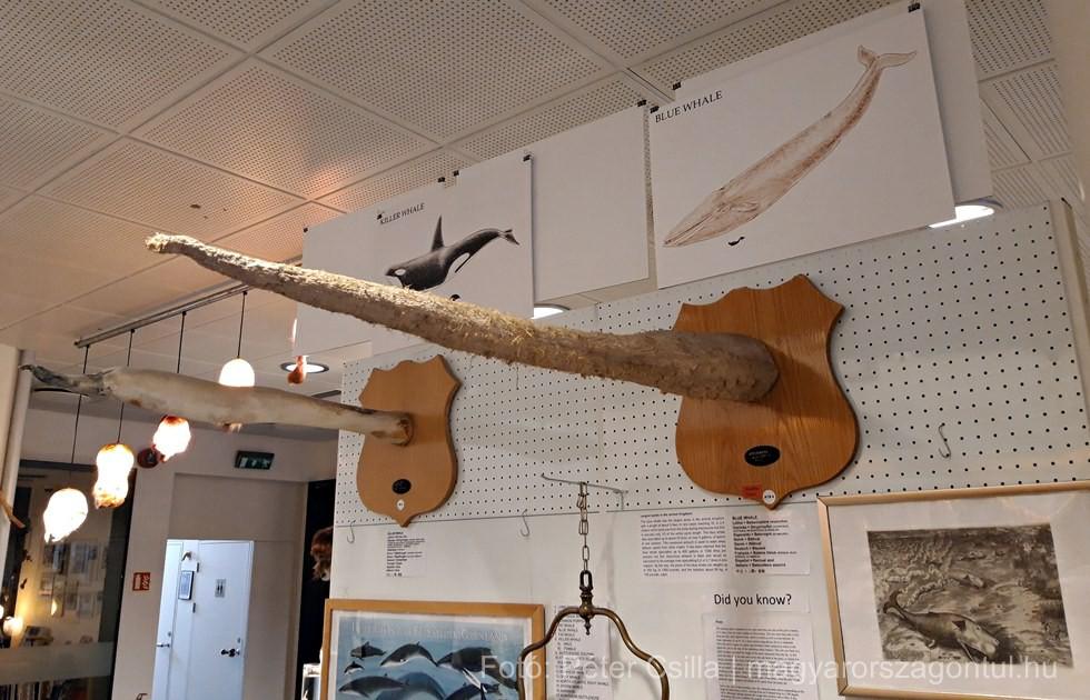 Kardszárnyú delfin kék bálna péniszmúzeum Izland index