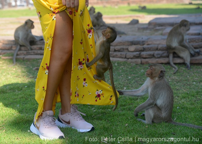 Majmok Temploma Lopburi