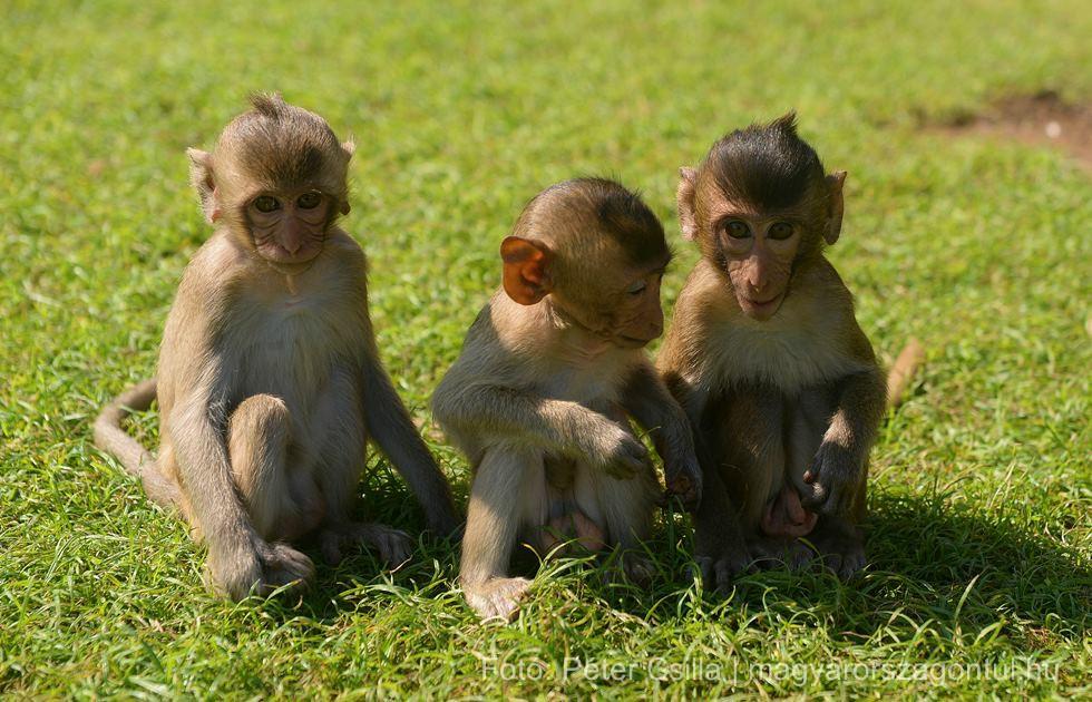 Majmok Temploma Thaiföld index
