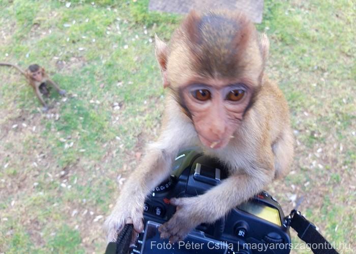 Szemtelen majom Thaiföld