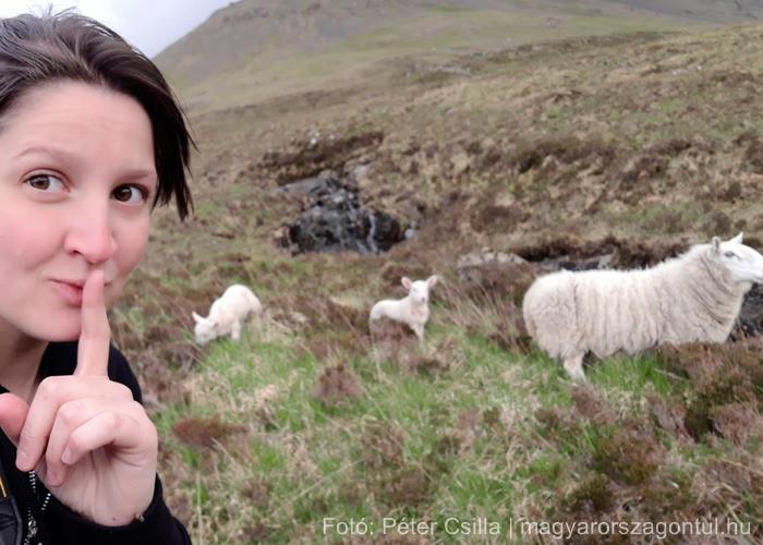 Útitárs bárányok Skócia