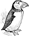 puffin madár